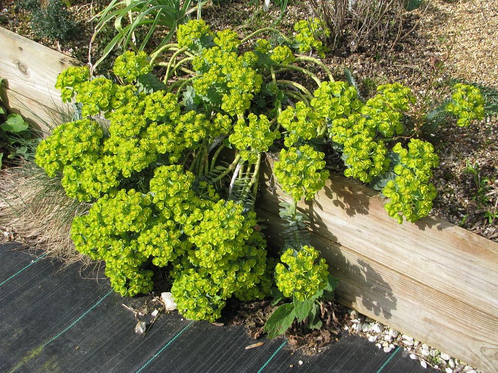 Euphorbia myrsinites reddish form