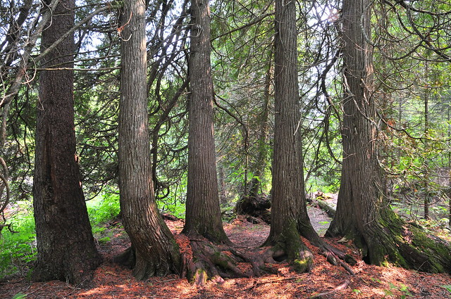 Five trees in a row