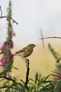 Young Willow Warbler | by Paul Marfell