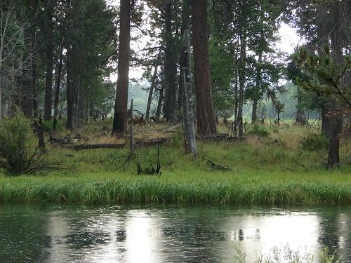 Elk herd on the far shore of the Deschutes River