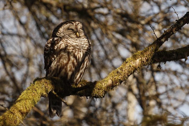 Sunny Owl