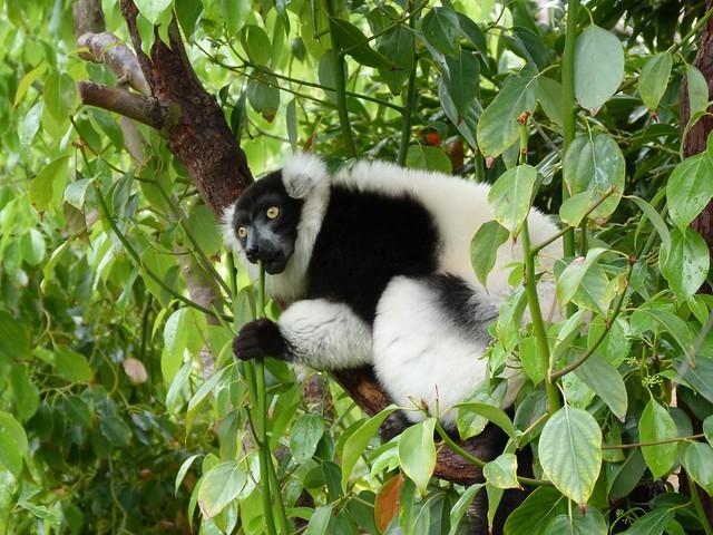 Lémur, el emblema de Madagascar
