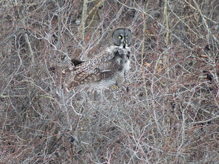 Great Gray Owl, Robert Moses State Park, NY, 2/21/2017 | by Marg Higbee