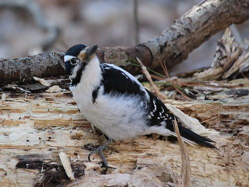 pickering ontario canada bird woodpecker hairywoodpecker leuconotopicusvillosus mybestwp bestbird