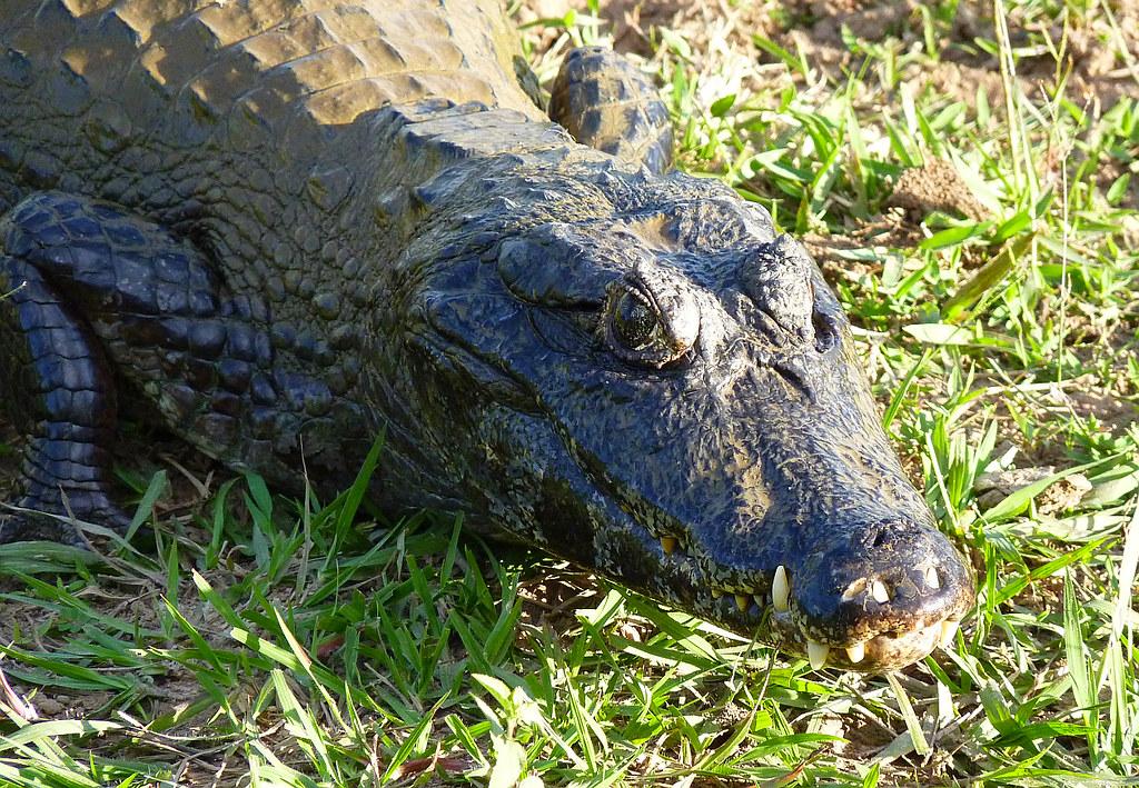 Krokodilkaiman, NGID1912265068