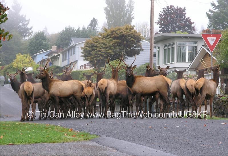 Elk 13 x 19 watermarked low for craigslist