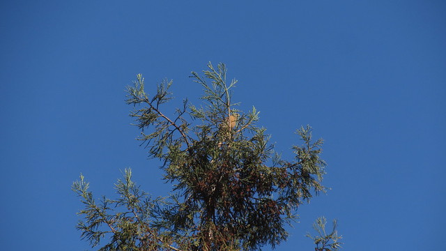 IMG_6811 red shouldered hawk in redwood tree goleta