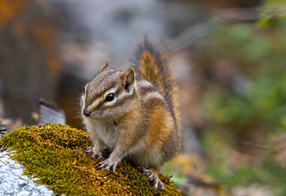 Red-tailed Chipmunk | by Shawn McCready