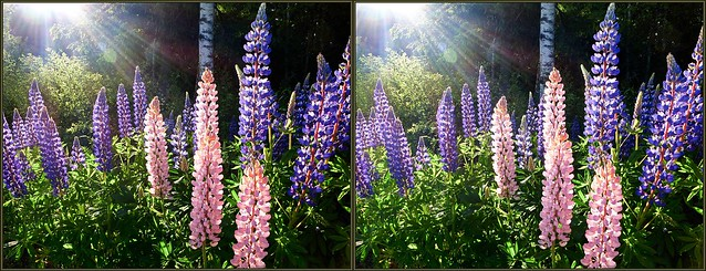 ... Lupines in the evening sun ... 3D cross-view ...
