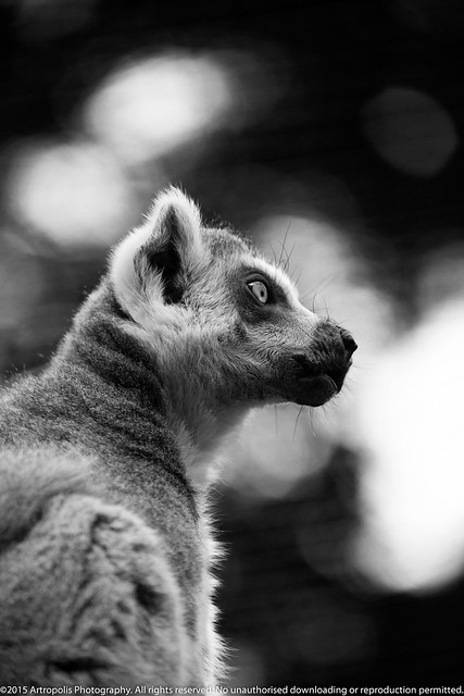 The real King Julian: Lemur in black and white