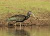 Green Ibis by tickspics 