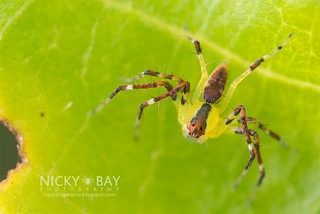 Lynx Spider (Oxyopidae) - DSC_5061 | by nickybay