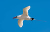 Red-tailed Tropicbird by Chalto!