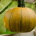 Gourd Family - Photo (c) Scott Branson, some rights reserved (CC BY-NC)