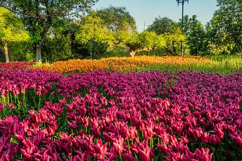 turkey konya plants flowers tulips garden alaaddintepesipark russellscottimages