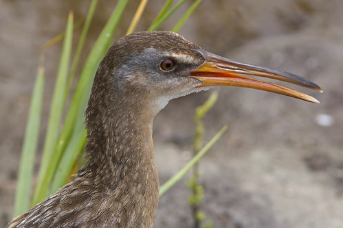Clapper Rail | by Stephen J Pollard (Loud Music Lover of Nature)