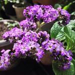 My Home Garden photo ヘリオトロープ 甘い、桜餅のような香り。  #garden  #flower