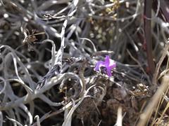 日, 2013-08-18 12:01 - Pinkuylluna登山道に咲いていた花