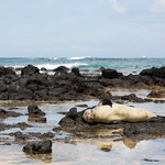 Monk seal scratching an itch