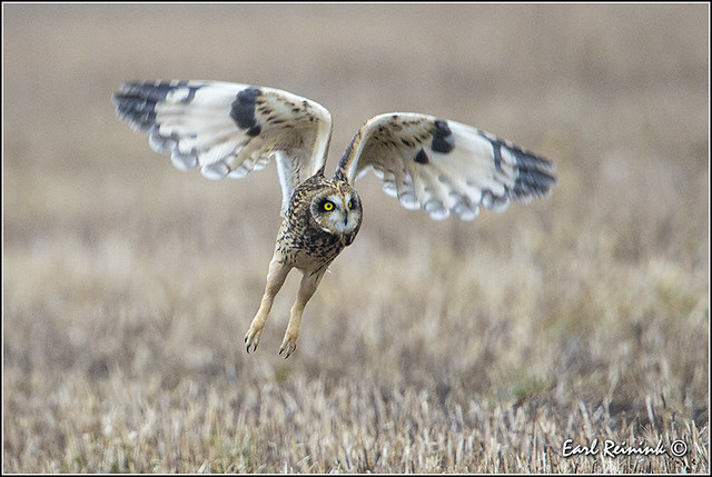 Short-eared Owl (20140111-0246)