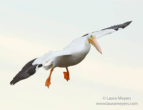American White Pelican in Flight | by Laura-Meyers