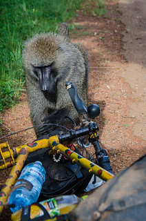 Inquisitive Baboon | by BetterLifeCycle