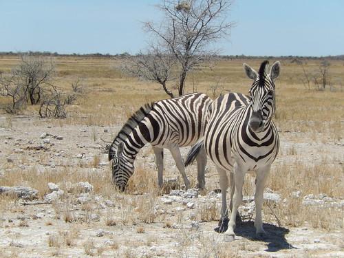 Etosha NP - zebra