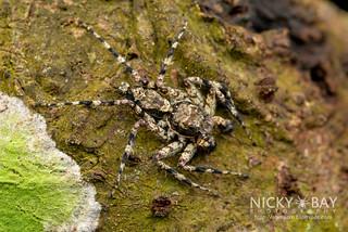 Jumping Spider (Phaeacius sp.) - DSC_1101