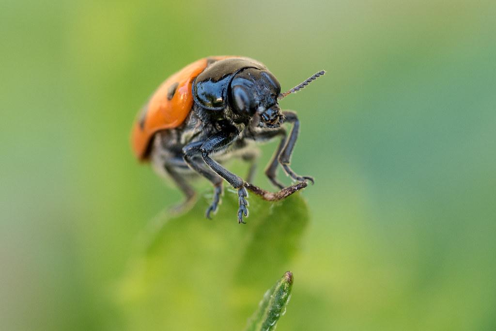 Ameisensackkäfer (Crop)