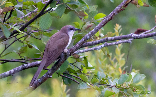 Black-billed Cuckoo | by Fyn Kynd