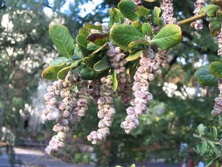 絲穗木 Garrya elliptica  [墨爾本植物園 Royal Botanic Gardens, Melbourne]