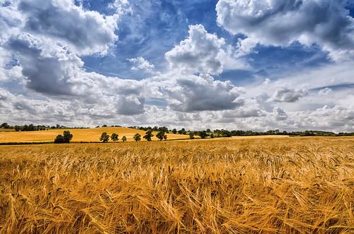 blue summer sky white field barley clouds landscape gold golden nikon warwickshire d7000 greatalne jactoll