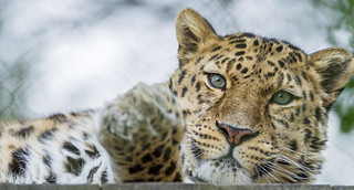Relaxed Akin | by Tambako the Jaguar