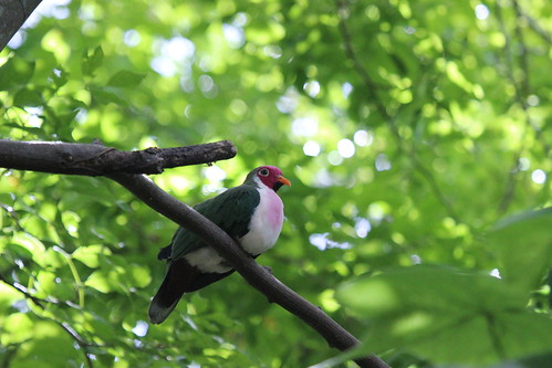JAMBU FRUIT DOVE | by cuatrok77
