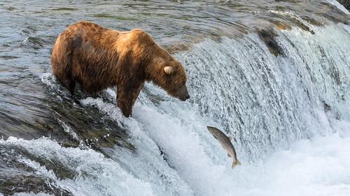 Brown Bear fishing Salmon   by Christoph Strässler