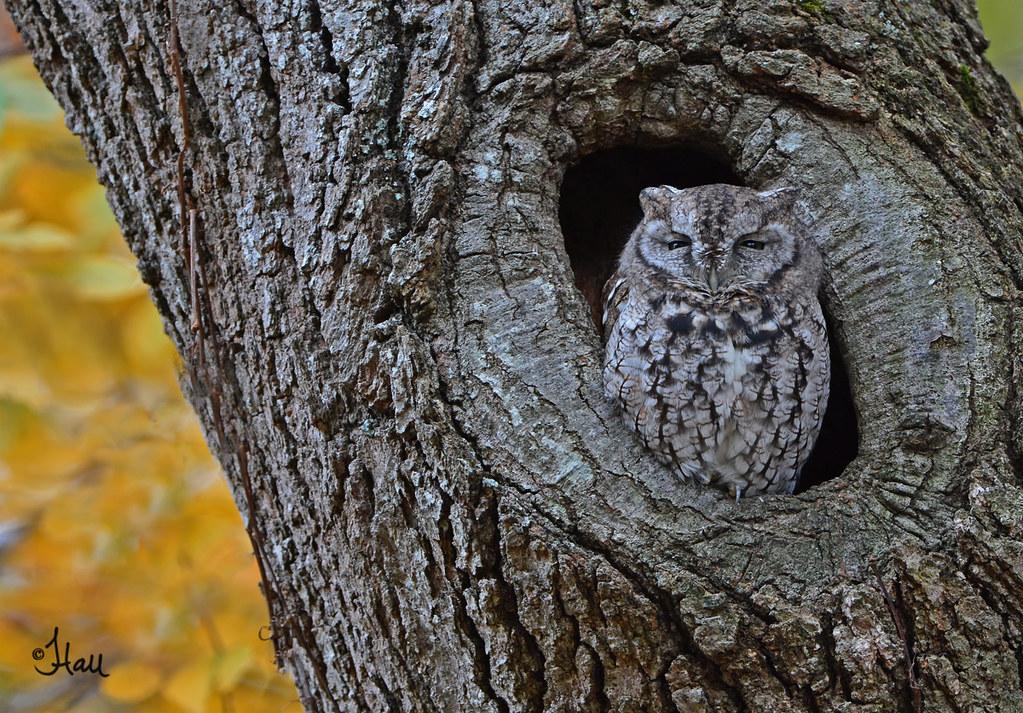 Eastern Screech Owl - 4366b+sg