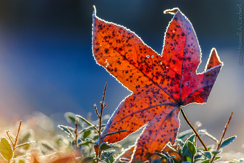 macro leaves closeup sunrise canon dawn backyard frost texas unitedstates outdoor sigma bluehour lumberton bmttx ifttt