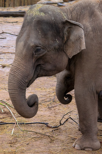 Elephants at Chester Zoo   by Andy Hay