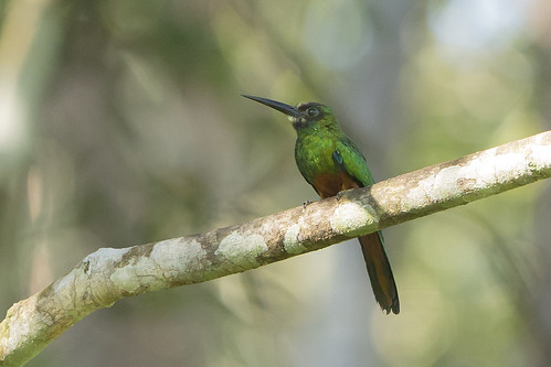 White-chinned Jacamar (Galbula tombacea) 2 012314 | by evimeyer