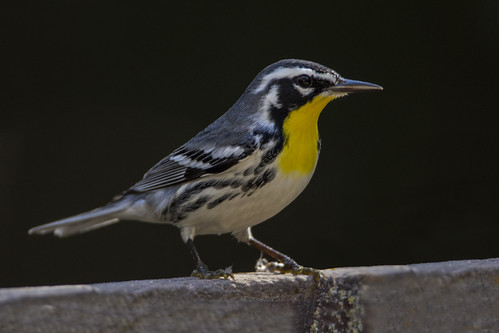 Yellow-throated Warbler | by Eric Gofreed