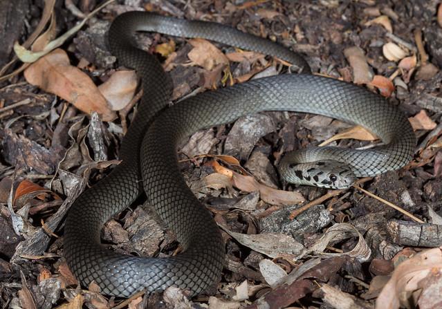 Pale Headed Snake