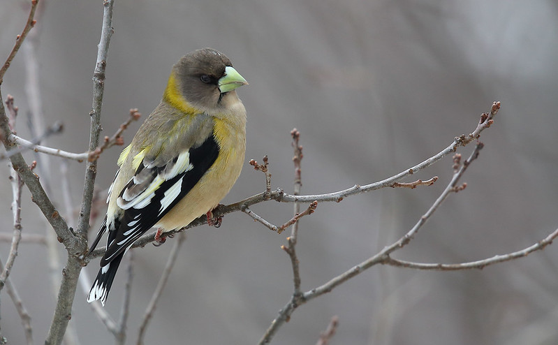 Evening Grosbeak [female]