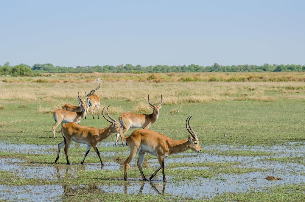 Rote Letschwe Antilopen / Red Lechwe Antelopes