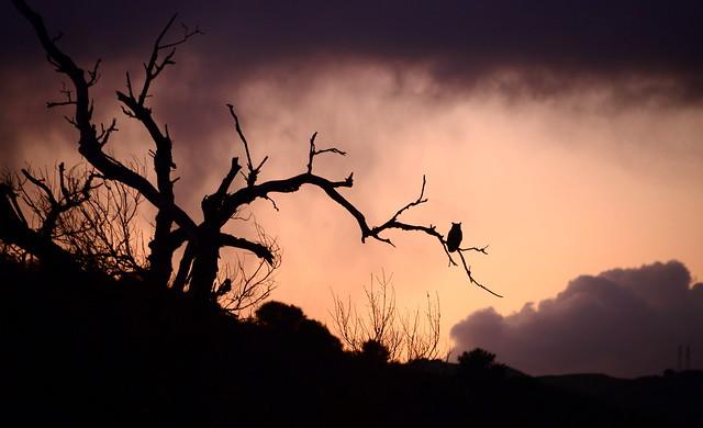Great Horned Owl at Sunset (closer), Moraga, California