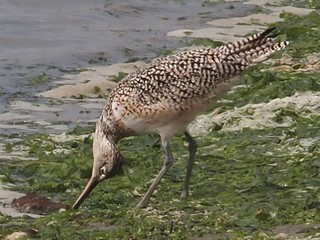 That Looks Awkward (Long-billed Curlew, Numenius americanus) | by J. Maughn
