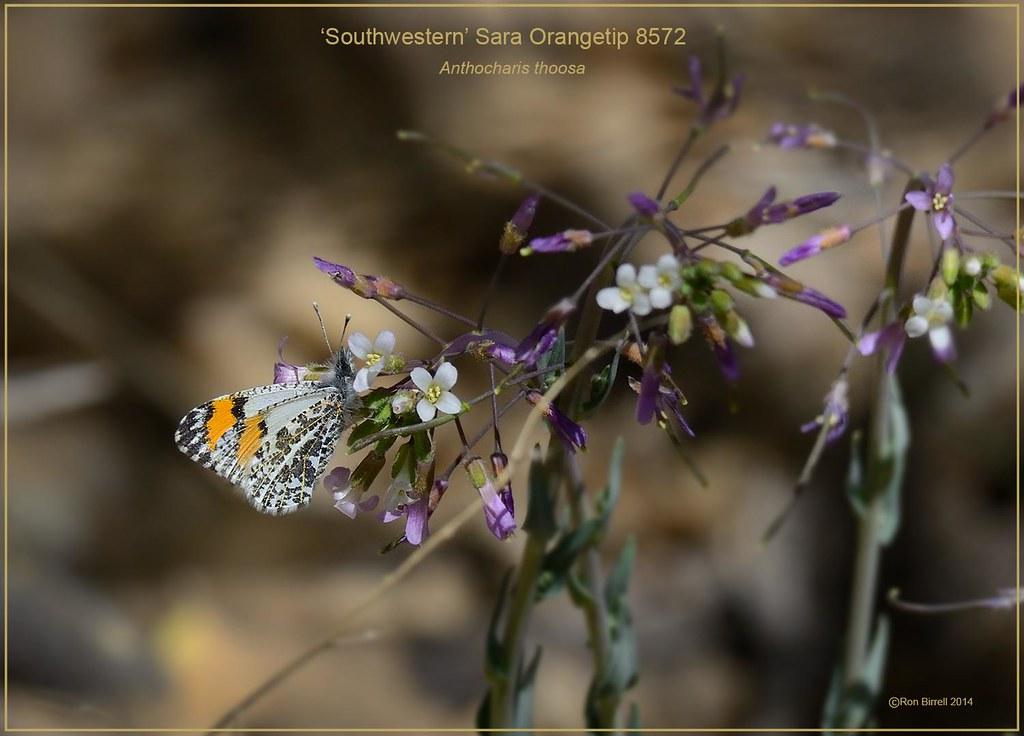 'Southwestern' Sara Orangetip New Mexico Butterfly Photography by Ron Birrell, DSC_8572