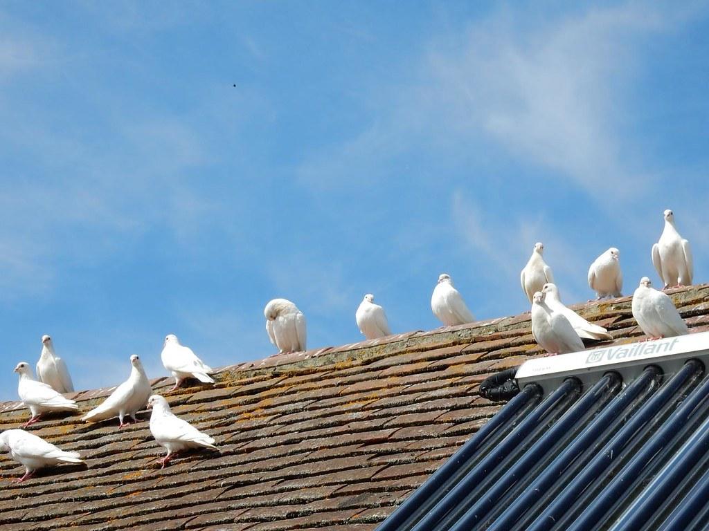 White doves, Pulborough reserve Pulborough Circular