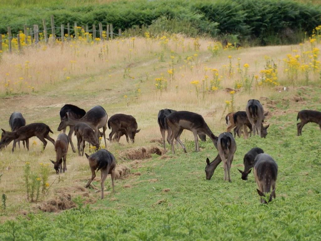 Deer, Pulborough reserve Pulborough Circular