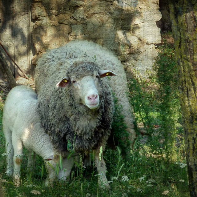 I'm not a sheep