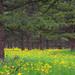 Wildflower meadow under ponderosa pines.